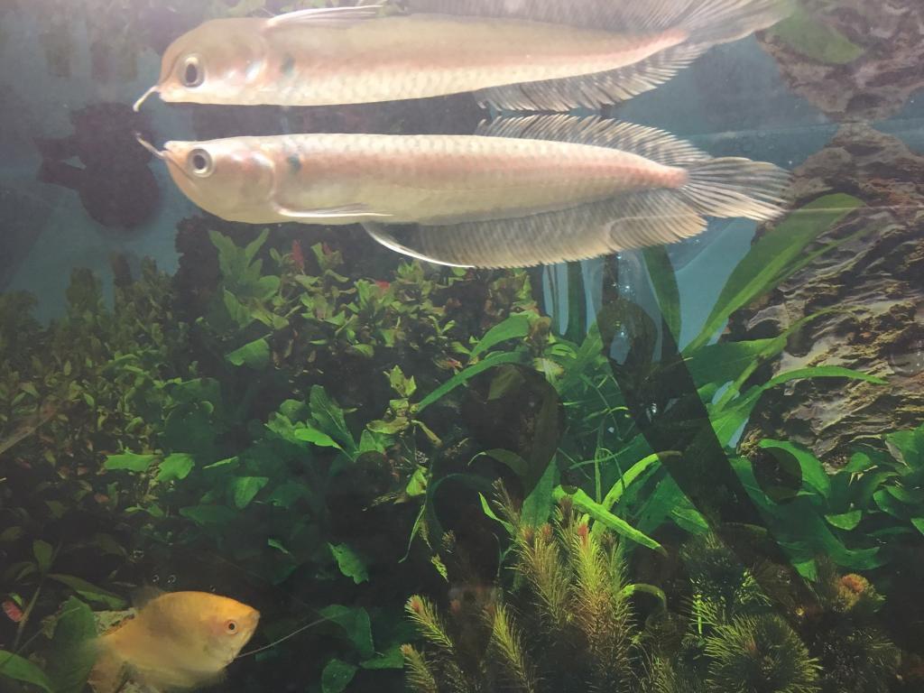 Fish aquarium edmonton - Silver Arowana Sell Urgently
