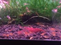 RCS shrimp (aquarium cleaners)