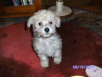 Beautiful Silver Salt & Pepper Grey Schnoodle Puppy