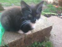 1 girl kitten left ready now!