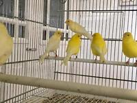 Hen canaries for sale