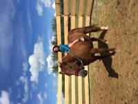 17 year old chestnut mare great gymkhana horse.