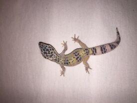 Three baby leopard geckos