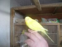 hand tame budgies £20