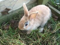 two boy netherland dwarfs £10