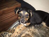 Cross bread puppy for sale
