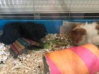 2 lovely long haired guinea pigs for sale
