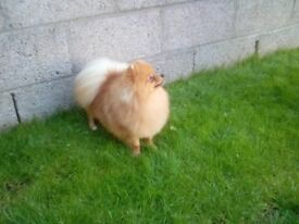 Pomeranian dog .14mths old..genuine reason for sale .lovely boy .