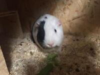 1 male guniea pig