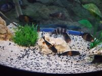 tropheus and frontosa