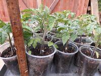 Tomato plants, £1 each