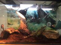 Chinese Water Dragon with Full Vivarium Set Up