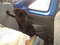 Gorgeous black pug girl