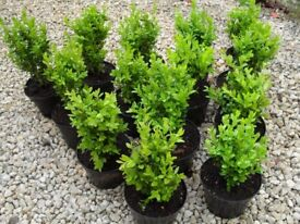 Buxus Evergreen Box Hedging in 1 lt pots ready to plant now free delivery subject to min order