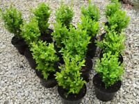 Buxus Evergreen Box Hedging in 2 lt pots ready to plant now free delivery subject to min order