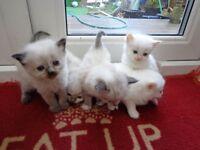 Colour point Ragdoll Kittens