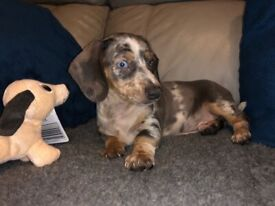 💚REDUCED💚*❤️*TAKE HOME TODAY!*❤️*BLUE MINI DACHSHUND PUPPIES
