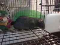 Pet Rats for adoption