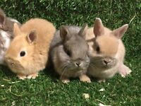 Beautiful Baby Netherland Dwarf Bunnies