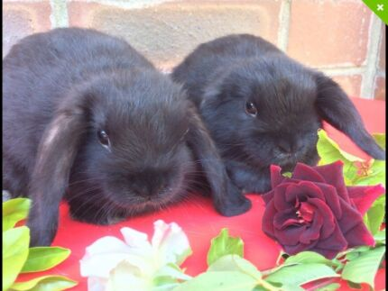 Totally adorable pure breed mini lop baby rabbits ready now