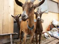 3 Milking Goats for Sale