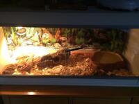 Two corn snakes full set up