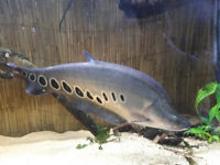 large clown knife fish 18 inches long - tropical fish