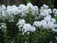 HERBACEOUS PHLOX - WHITE ONLY POTTED UP