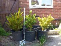 3 buxus plants medium size, knee height