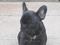 French bulldog puppy ( Reduced )