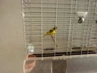 Lovely Male singing Canary