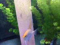 Gold Angelfish pair and babys