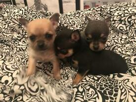 Chuihua puppys