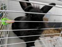 Female black dwarf rabbit
