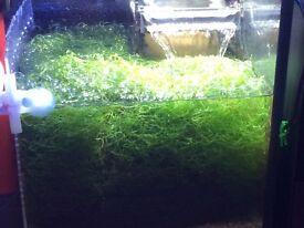 Marine tank Chaetomorpha Chaeto Nitrate & Phosphate A handful of Chaeto