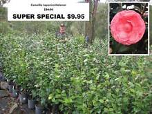 Plant Sale - SUPER SPECIALS - Starting from $9.95 YOU MUST SEE!! Mudgeeraba Gold Coast South Preview