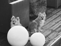 2 POMERANIAN BOYS BROTHERS £975 for both boys {10 MONTHS OLD}