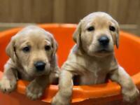 Fox Red Labrador Puppies - Champion Bred