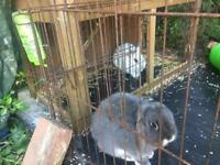 X2 bunnies plus outside hutch and run and indoor cage