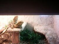 Two Lovely Bearded Dragons plus complete set up for sale