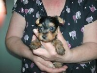 3 beautifull male yorkshire terrier pups for sale,