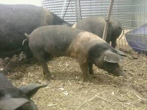 SADDLEBACK PIGS FOR SALE Blenheim Lockyer Valley Preview