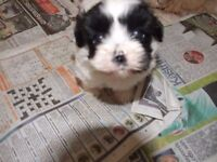 ]shih tzu puppy {boy}