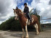 14.2 cob gelding to loan anyone's ride