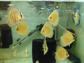 For Sale, crossed Turk and leopard snakeskin Discus