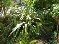 PHORMIUM (New Zealand Flax).