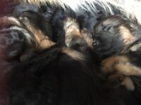 Pedigree German shepherd Puppies