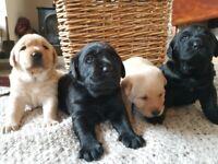 Labador Puppies