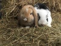 Baby Mini Lop Rabbits Male