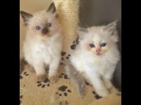 Gorgeous Ragdoll kittens 4 boys available now ready on 4th September